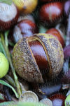 Chestnuts 0002